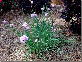 New chives